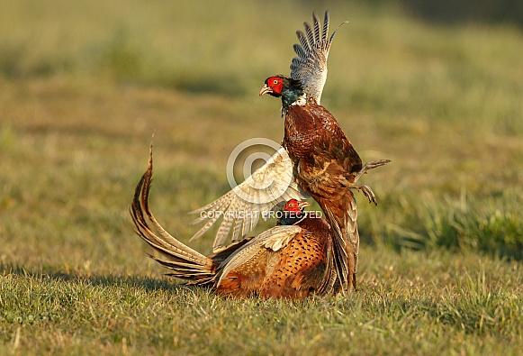 Pheasant Fight