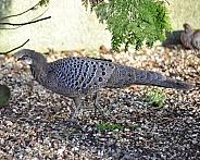 peacock pheasant