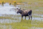 A Cow Moose in Alaska