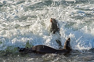 Sea Lions - Caught by a Wave