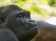 Gorilla Lowland