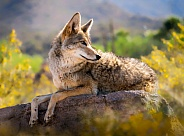 Coyote Laying on Rock