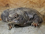 Egyptian Uromastyx Lizard