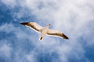 Sea Gull in Flight
