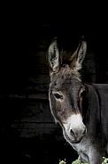 Solitary donkey
