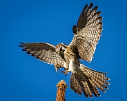 American Kestrel with grasshopper in talons