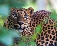 Watching- Sri Lankan Leopard