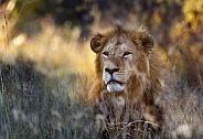 Male Lion - Okavango Delta - Botswana
