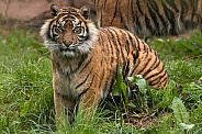 Sumatran Tiger Sitting In Grass