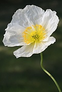 A White Macro Poppy in Alaska