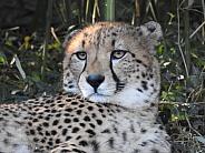 Cheetah closeup lounging
