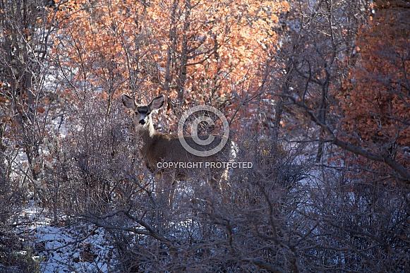 Odocoileus hemionus, mule deer