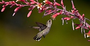 Hummingbird Trochilidae