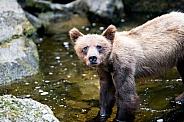 Wild grizzly bear cub in Alaska