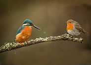 Common Kingfisher with European Robin