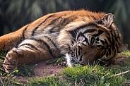 Sumatran Tiger Asleep Lying Down