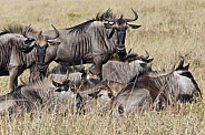 Blue Wildebeest - Botswana