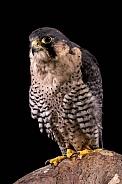 Falcon Portrait On Black Background