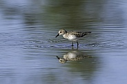Semipalmated Sandpiper in Alaska