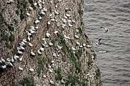 Gannet Colony - Bempton Cliffs - England