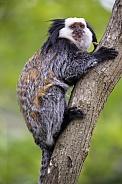 White-headed marmoset (Callithrix geoffroyi)