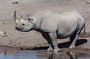 Black Rhinoceros - Etosha National Park - Namibia