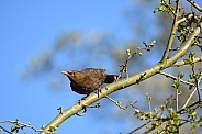 Blackbird female