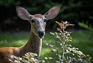 Florida White Tail Deer Portrait