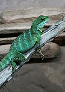Chinese Water Dragon Lizard