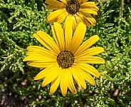 Parachute Daisy (Ursinia cakilefolia)