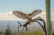 Ferruginous Hawk in WInter Desert