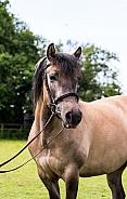 Dun Highland Pony