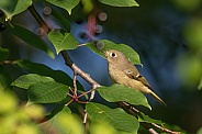Ruby-crowned Kinglet Posing in a Tree