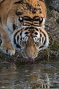 Siberian/Amur Tiger(Panthera Tigris Altaica)