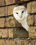 European Barn Owl Portrait in Wall