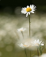 Wild Ox-Eye Daisy