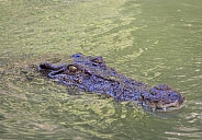 Saltwater Crocodile swimming with only head visible