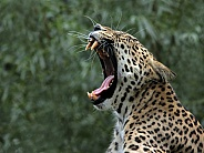 North Persian Leopard