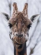 Giraffe Front On Face Shot