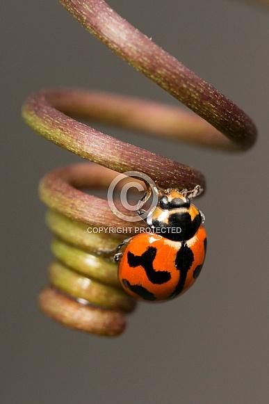 Transverse Ladybird on tendril