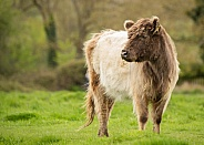 Belted Galloway Cross