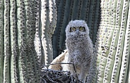 Great horned owlet in a nest
