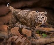 Bobcat Male