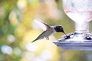 Male hummingbird in flight