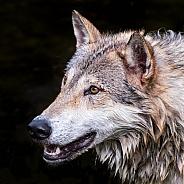 Tundra Wolf Portrait