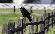 Common Raven Perching on a Fence  in Alaska