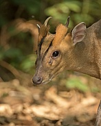 Reeve's Muntjac Portrait