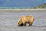 Alaskan Brown Bear Digging Clams