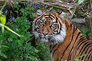 Sumatran Tigress(Panthera Tigris Sumatrea)