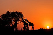 Three Giraffe Silhouettes at Sunset